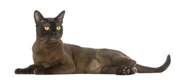 看孟买的猫说谎和  库存照片