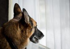 看客厅窗口的德国牧羊犬狗 免版税库存图片