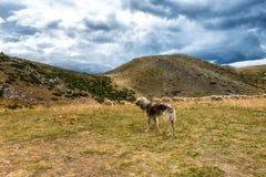 看家狗和绵羊 库存照片