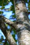 看对天空的树 免版税库存图片