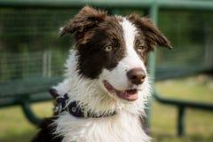 看对天际的一只幼小博德牧羊犬的画象 免版税库存照片