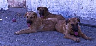 看对照相机的三条狗 免版税库存照片