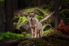 看对照相机的印象深刻的狼 国家公园Sumava 免版税库存图片