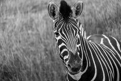 看对照相机的斑马,拍摄在黑白照片口岸Lympne徒步旅行队公园,阿什富德,肯特英国 免版税库存照片