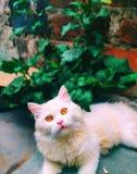 看对照相机的波斯猫 库存图片