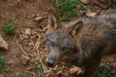 看对照相机的狼 库存图片