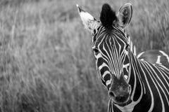 看对照相机的镶边斑马,拍摄在黑白照片口岸Lympne徒步旅行队公园,阿什富德,肯特英国 库存图片