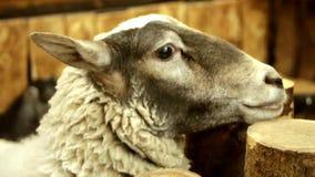看对照相机的黑米黄绵羊 影视素材