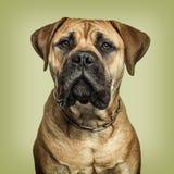 看对照相机的Bullmastiff特写镜头反对绿色backgrou 库存照片