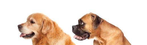 看对边的两条大狗 免版税库存照片