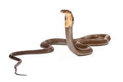 看对边的眼镜王蛇蛇 免版税库存图片