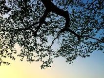 看对从大树下面的天空 库存照片