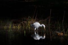 看对水的唯一白色埃及白鹭 免版税库存图片