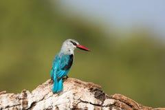 看对他的边的森林地翠鸟 免版税库存图片