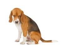 看小猎犬的小狗下来 免版税库存照片