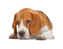 看小猎犬的小狗躺下和 库存照片