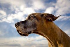 看左与口水子线的丹麦种大狗 免版税库存图片