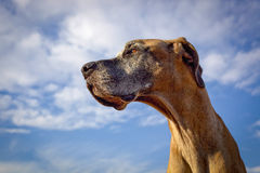 看左反对明亮的蓝天的丹麦种大狗 免版税库存图片