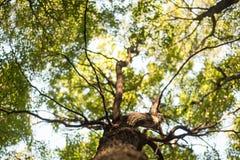 看巨大的树和光的天空 库存图片