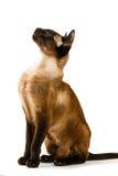 看布朗东方的猫坐直和 在一个空白背景 免版税库存照片