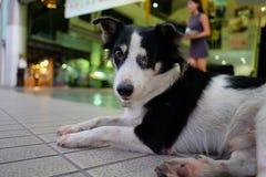 看希望的泰国狗(一只眼睛) - 免版税库存图片