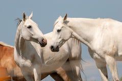 看彼此的两匹马 免版税库存图片