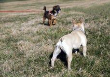 看彼此的两条狗 免版税库存照片