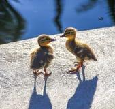 看彼此的狂放的野鸭鸭子 免版税库存图片