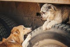 看彼此的逗人喜爱的浪漫棕色狗 库存照片