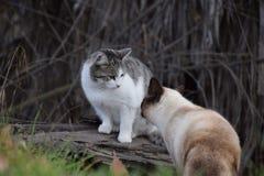 看彼此,在牡鹿的宠物的两只大猫停放,倍克斯城,加州 库存图片