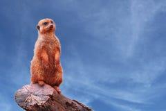 看往天际的一好奇meerkat或suricate海岛猫鼬类suricatta,站立在树枝 免版税库存照片