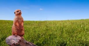 看往天际的一好奇meerkat或suricate海岛猫鼬类suricatta,站立在草甸围拢的树枝 免版税库存照片