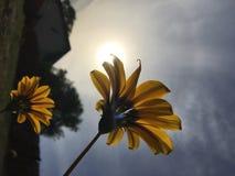 看往太阳的杂色菊属植物 免版税库存照片