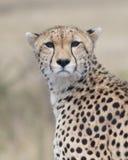 看往照相机的猎豹面孔特写镜头有被弄脏的背景 库存照片