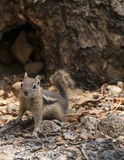 看往照相机的逗人喜爱的小的花栗鼠 免版税库存图片