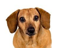 看您的小狗 免版税库存照片
