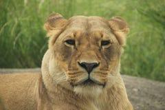 看您的狮子的画象 库存照片