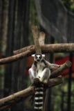 看您的环纹尾的狐猴 免版税库存照片