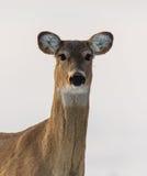 看您的白尾鹿 免版税库存图片