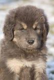 看您的西藏獒惊人的小狗 库存照片