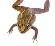 看您的豹子青蛙被隔绝的特写镜头 免版税图库摄影