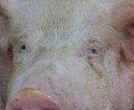 看您的顶头猪特写镜头 库存图片