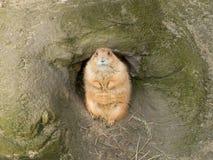 看您从他的草原土拨鼠 免版税库存图片