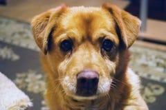 看我们的狗的画象在我们的眼睛 免版税库存图片