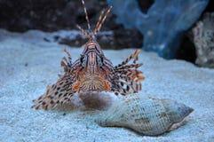 看我的照相机的狮子鱼在我的假期时在佛罗里达,美国 免版税图库摄影