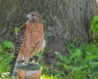 看我的红色肩膀鹰与其他眼睛 库存图片