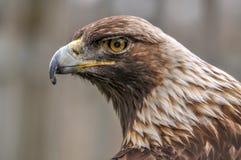看我,魁北克,加拿大的好奇皇家老鹰 库存照片