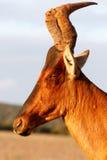 看我-红色Harte-beest -狷羚buselaphus caama 免版税库存照片