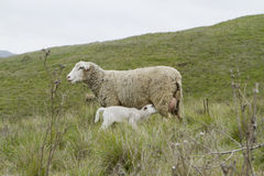 看护羊羔 免版税图库摄影
