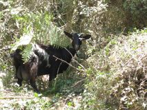 看摄影师的森林山羊 库存照片